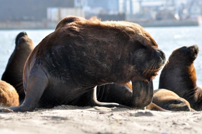 [VIDEO] Lobos marinos: una reserva que resiste la contaminación