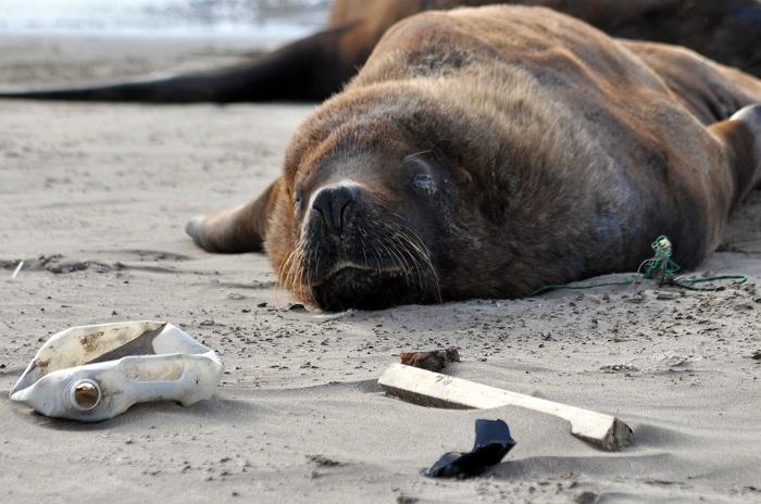 """Lobos marinos: cuestionan el """"abandono institucional"""""""