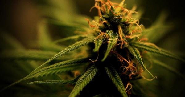 Cannabis medicinal: la Defensoría pide que se permita el autocultivo