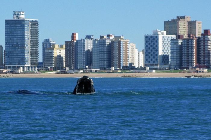 Una ballena, muy cerca de la costa marplatense