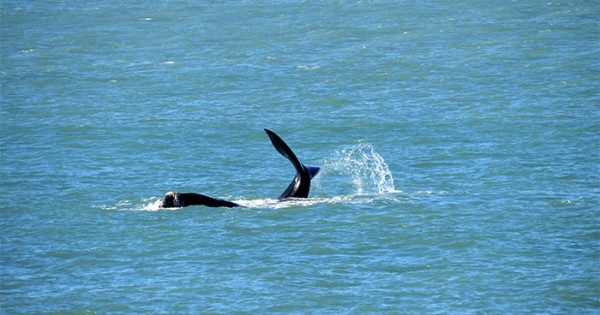 Ballenas aprovechan el fin de semana largo en Mar del Plata