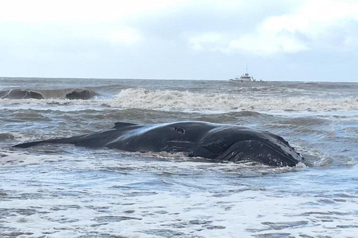 Mar del Tuyú: tras ser rescatada, la ballena encallada murió