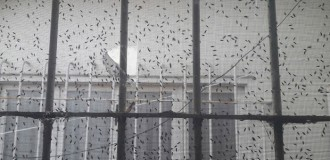 Invasión de mosquitas molestas: no descartan empezar a fumigar