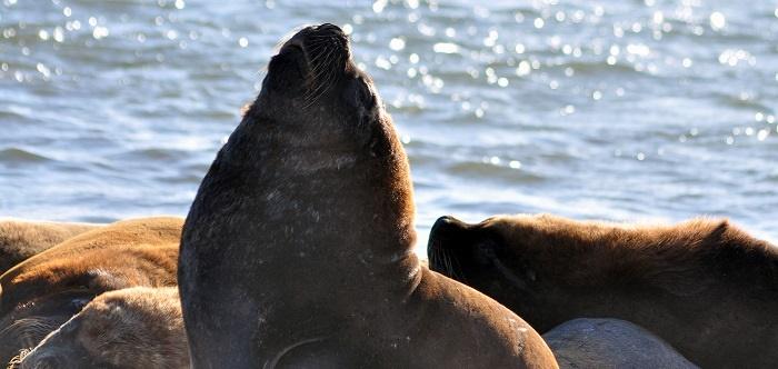 La reserva, sin lobos marinos por el abandono del Estado