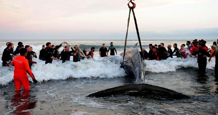 Pese a los esfuerzos, la ballena continúa varada en la costa