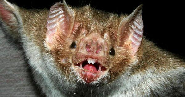 Apareció un murciélago con rabia en la zona de la Universidad