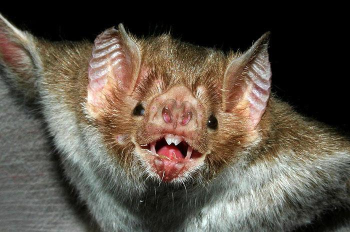 Otro murciélago con rabia y una campaña de revacunación