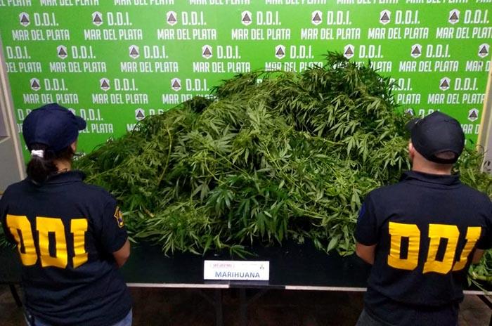 Robó, le allanaron la casa y encontraron plantas de marihuana