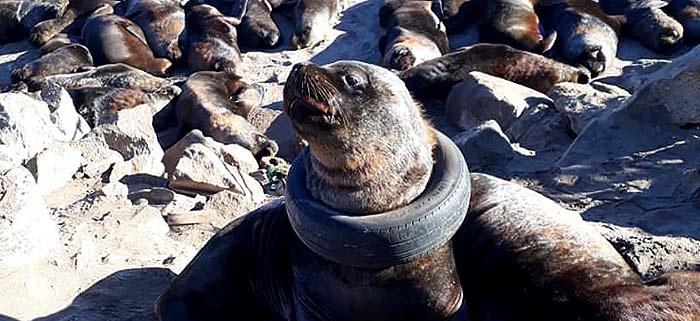 """Un neumático en el cuello de un lobo marino: """"Nos sentimos muy solos"""""""