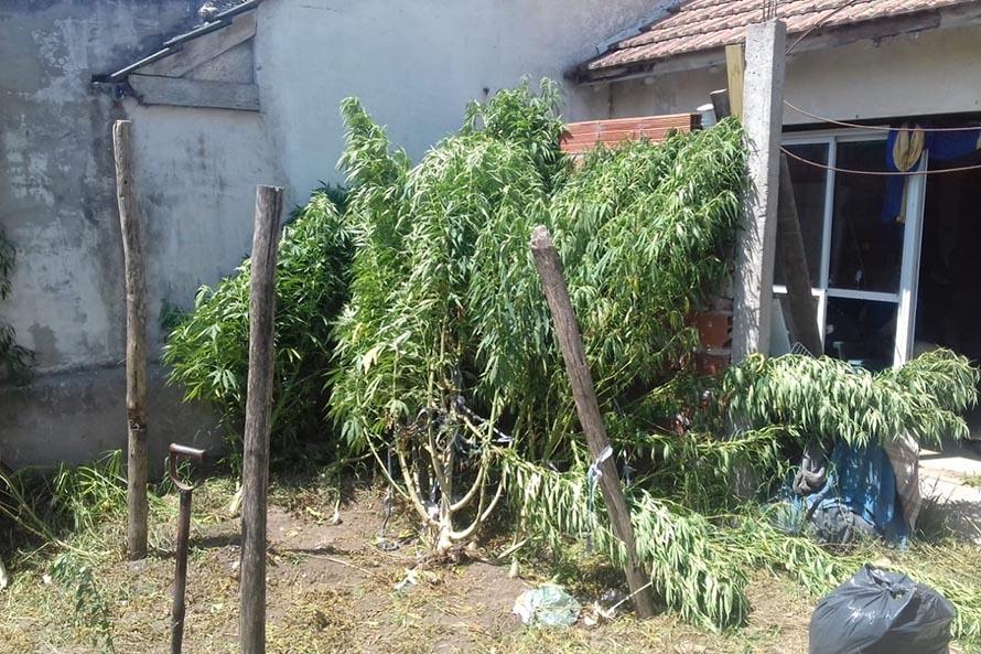 Santa Clara del Mar: incautan más de 107 kilos de plantas de marihuana en un allanamiento