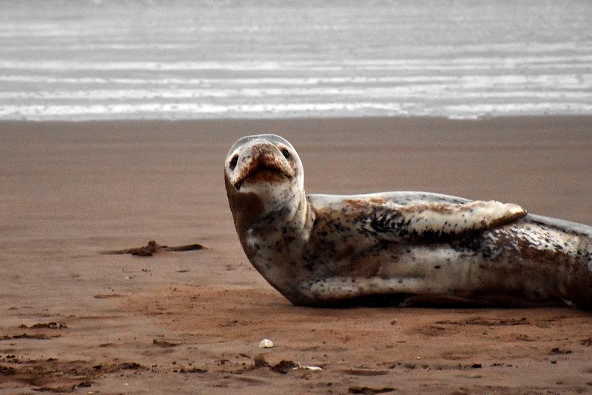 """Apareció una foca leopardo en Varese: """"Es muy raro verlos por esta zona"""""""