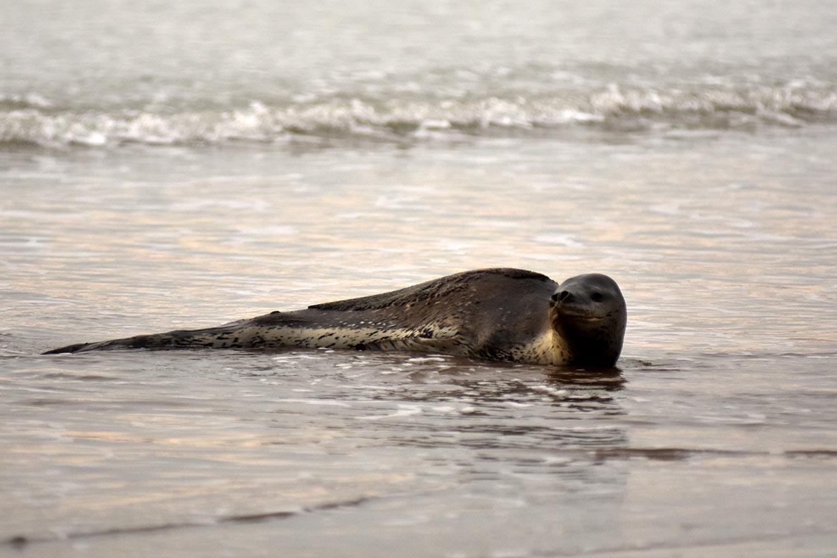 Tras su aparición en Playa Varese, la foca leopardo volvió al mar