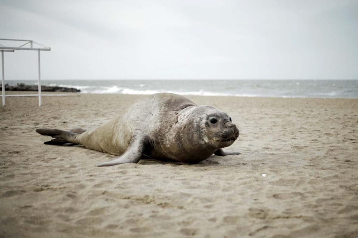 Apareció un elefante marino en una playa de Mar del Plata