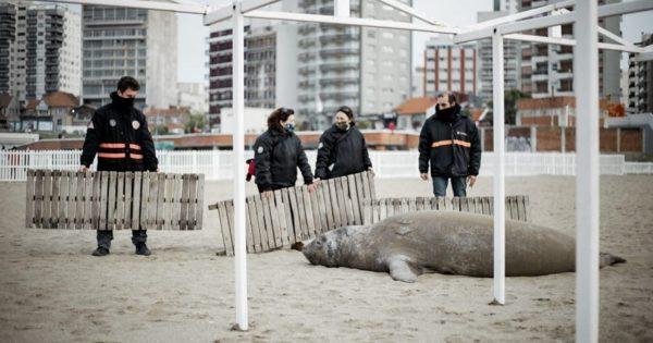 """""""Es inadmisible que obligaran a un elefante marino a volver al mar"""""""