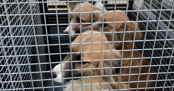 Rescatan a ocho perros en malas condiciones: los darán en adopción